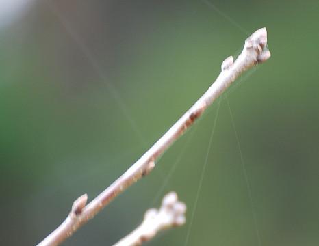 ミズナラの冬芽は