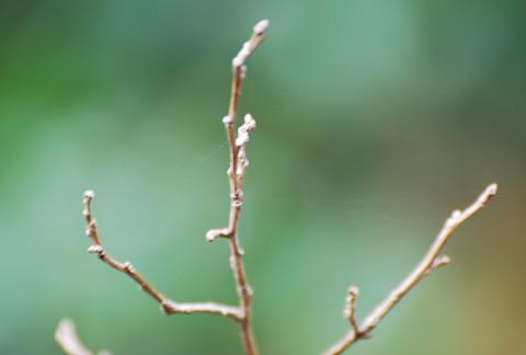 ウメモドキの冬芽が
