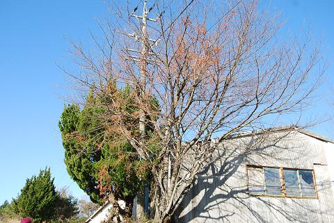ツルウメモドキの巨木が