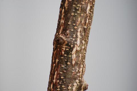 アベマキの幹が