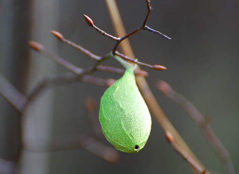 ヤママユの緑の