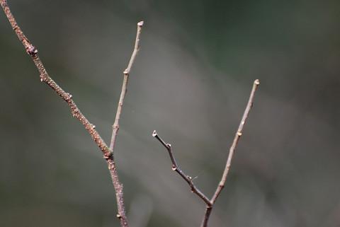 レンギョウの冬芽は
