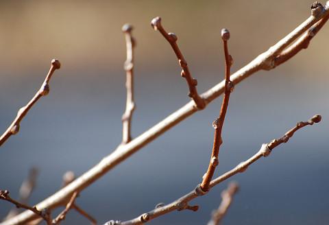 サルナシの冬芽は