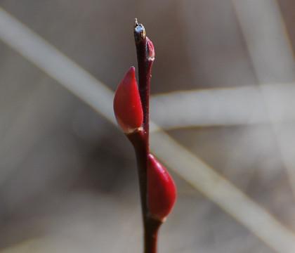 真っ赤なネジキの冬芽が