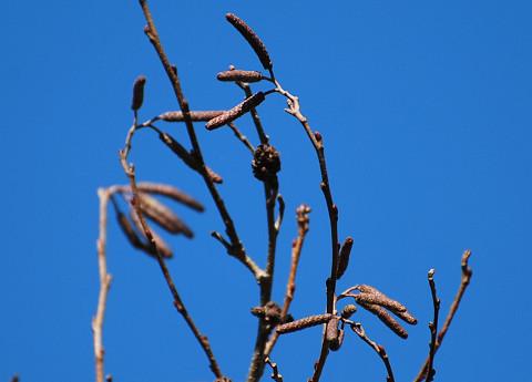 ハンノキの冬芽が