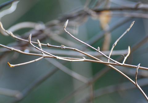 ムラサキシキブの冬芽が