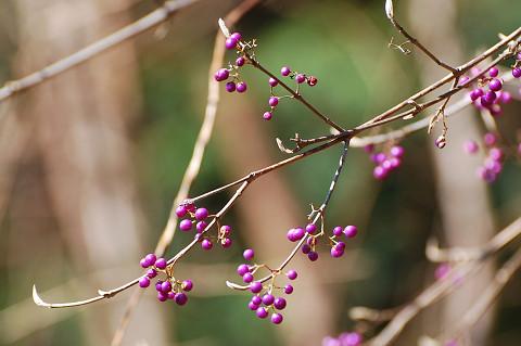 ムラサキシキブの実と冬芽