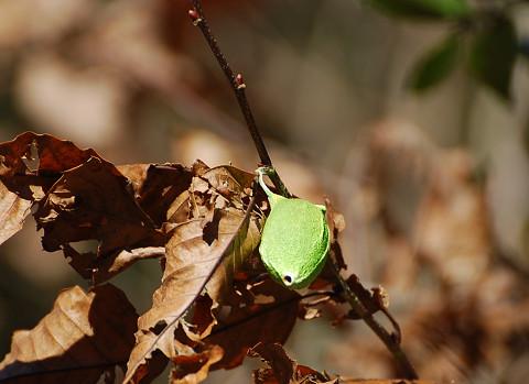 緑色のヤママユ