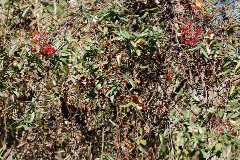 たくさんのつる植物の実