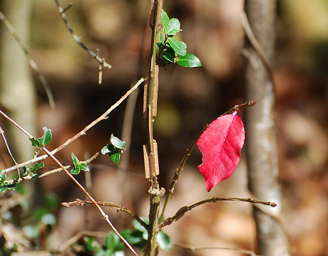 ニシキギの冬芽は
