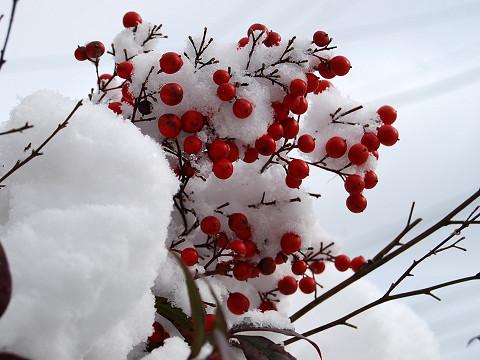 雪のネンテンの実
