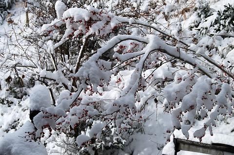 雪のウメモドキが