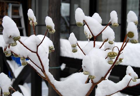 雪のミツマタの冬芽