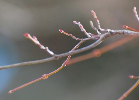 イロハモミジの冬芽1