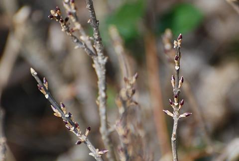 レンギョウの冬芽が独特