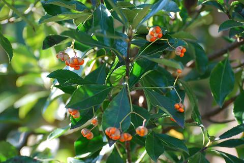 マサキのオレンジ色の実が