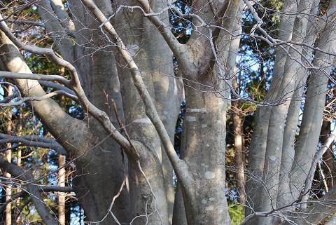 文殊山のブナ巨木