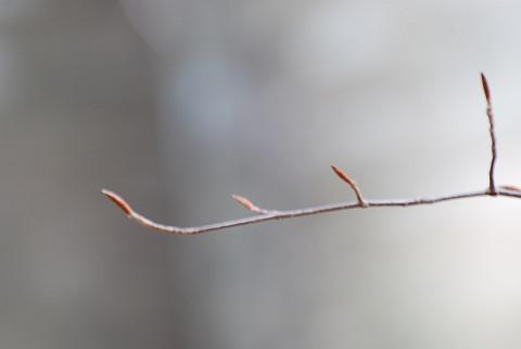 ブナの冬芽を