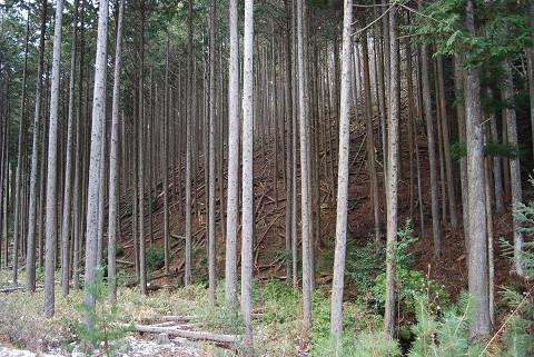 林道の人工林が
