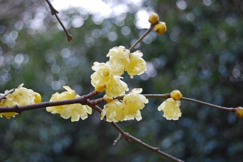 ロウバイの花2