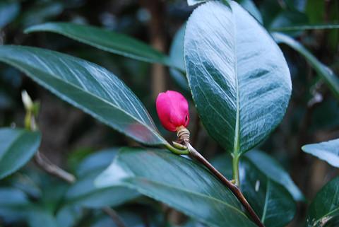 ヤブツバキの花が