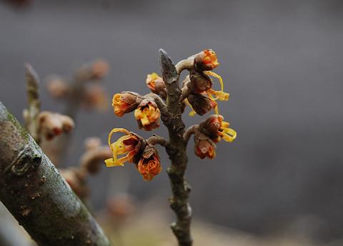 咲き始めたマンサク