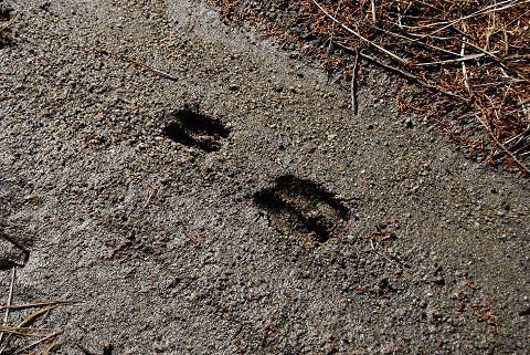 鹿の足跡が