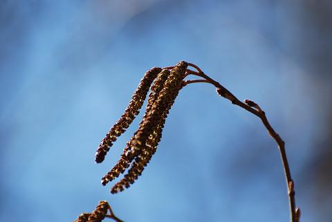 ハンノキの雄花と雌花