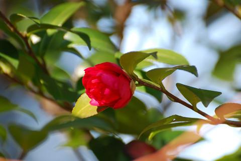 椿の真っ赤な花が