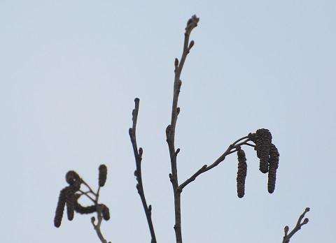 ハンノキの雄花序が垂れて