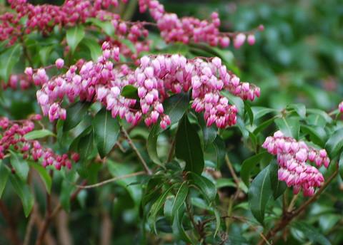 ピンク色のアセビの花は