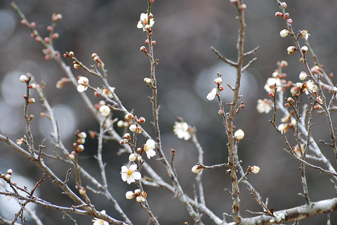 ハクバイが咲き始め
