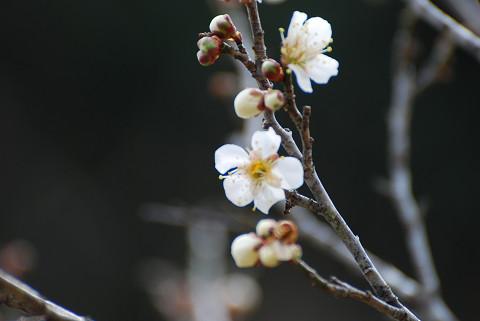 ハクバイ咲き始め2