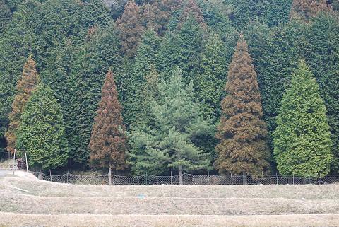 杉とヒノキの形