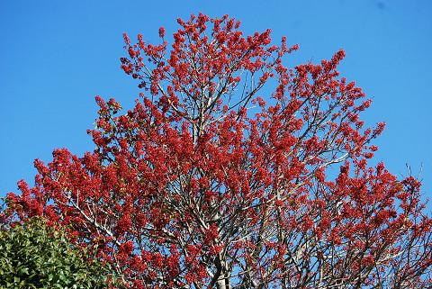 赤い実がいっぱいの木が