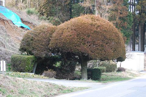 整形された杉の木