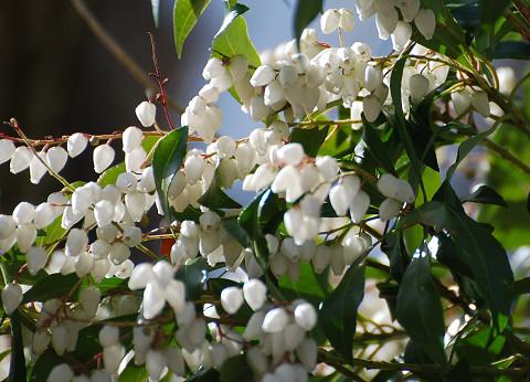 真っ白のアセビの花