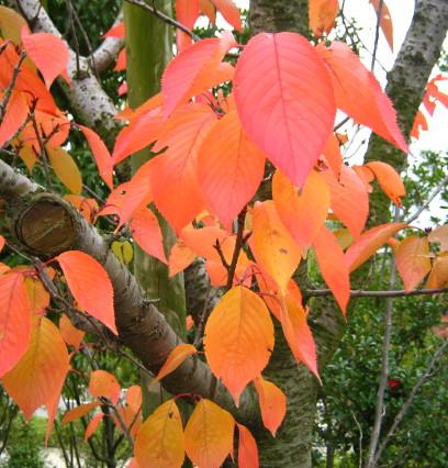 桜の木の紅葉