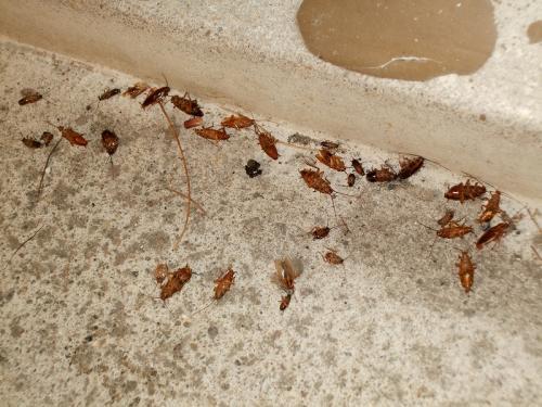 鳥肌モノ!!驚愕のゴキブリ死骸集