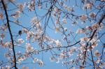 桜をついばむ鳥