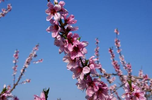 高原の風とピンクの季節12