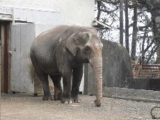 アジア象のウメ子さん