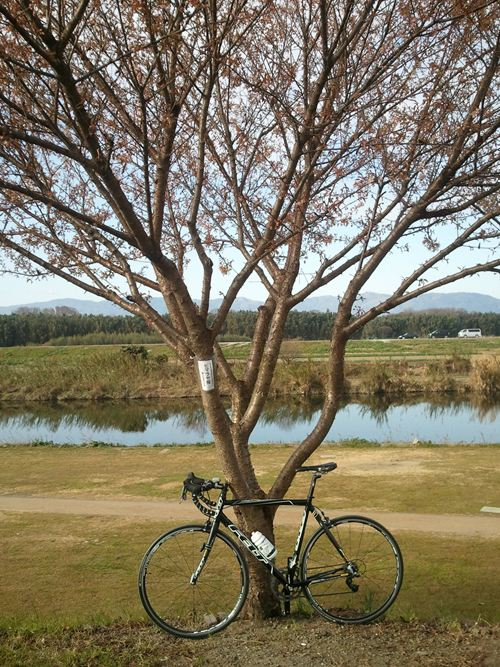 大晦日の桜と自転車