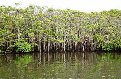 西表島マングローブ林