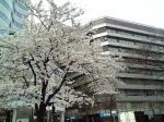 hibiyasakura200330.jpg