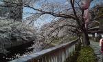 sakura2003272.jpg