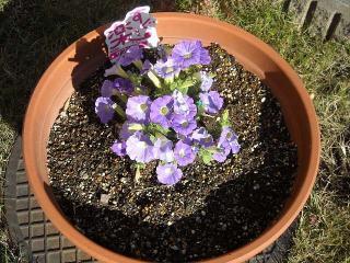 サフィニア紫