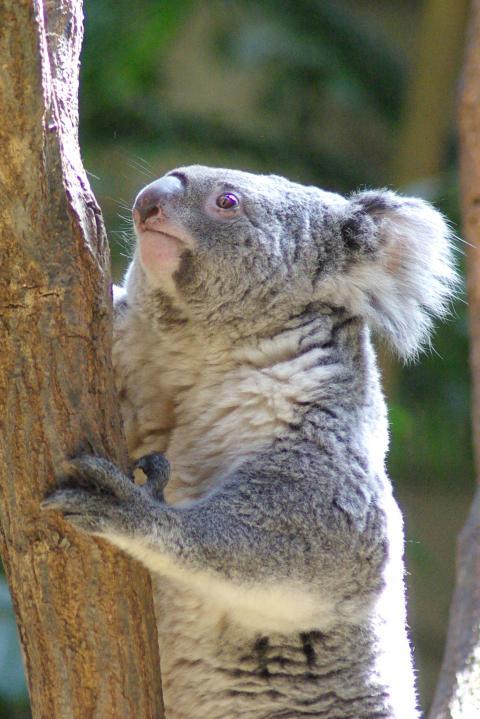 東山動物園_活動的に木を登るコアラ