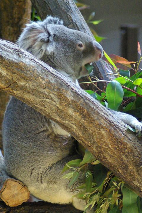 東山動物園_黙々とユーカリの葉を食べ続けるコアラ