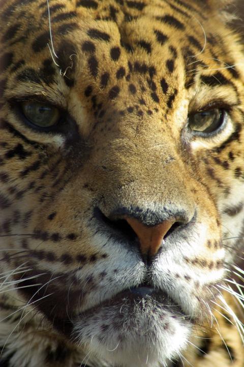 東山動物園_どアップで綺麗な目のジャガー